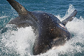 Great White Shark (Carcharodon carcharias) thrashes at the surface