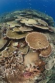 Healthy coral reef with impressive hard coral coverage, huge table corals and colorful branching corals. Great Barrier Reef, Australia, Pacific Ocean