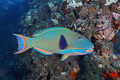 Spotted Parrotfish (Cetoscarus ocellatus), also called Bicolor Parrotfish, swimming among wreckage of the SS Yongala, a famous shipwreck dive and artificial reef extraordinaire. Australia, Pacific Ocean
