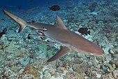 Gray Reef Shark (Carcharhinus amblyrhynchos), swimming over shallow reef. Note sharksuckers (Echeneis naucrates) along its side. Australia, Pacific Ocean