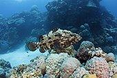 Brown-Marbled Grouper (Epinephelus fuscoguttatus). Australia, Great Barrier Reef, Pacific Ocean