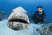 Potato Cod (Epinephelus tukula) opening mouth wide while scuba diver (model released) watches. Great Barrier Reef, Australia, Pacific Ocean