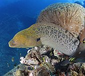 Giant Moray Eel (Gymnothorax javanicus) on the wreckage of the SS Yongala, a famous shipwreck dive and artificial reef extraordinaire. Australia, Pacific Ocean