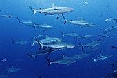 Gray Reef Sharks (Carcharhinus amblyrhynchos). Australia, Pacific Ocean