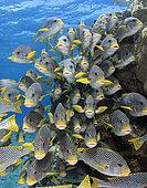 Diagonal-banded Sweetlips (Plectorhinchus lineatus). Australia, Great Barrier Reef, Pacific Ocean