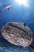 Potato Cod (Epinephelus tukula). Australia, Great Barrier Reef, Pacific Ocean