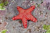 Vermilion Biscuit Sea star (Pentagonaster duebeni), also called the Australian biscuit starfish. Australia, Pacific Ocean