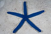 Blue Sea Star (Linckia laevigata). Australia, tropical Indo-Pacific oceans