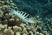 Sixbar Wrasse (Thalassoma hardwicke). Australia, tropical Indo-Pacific oceans