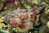 Reef Stonefish (Synanceia verrucosa). Very dangerous, one of the most venomous fish in the world. Fin spines can be fatal. Australia, Great Barrier Reef, Pacific Ocean
