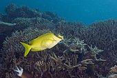 Masked Rabbitfish (Siganus puellus). Australia, Great Barrier Reef, Pacific Ocean