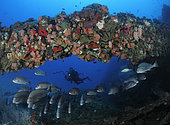 Snappers (family Lutjanidae) and sweetlips (family Haemulidae) under mast of the SS Yongala, which is covered with sponges, cup corals, and oysters. Yongala is a famous shipwreck dive and artificial reef extraordinaire. Australia, Pacific Ocean