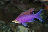 Purple Anthias (Pseudanthias tuka), male. Australia, Great Barrier Reef, Pacific Ocean