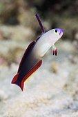 Fire Dartfish (Nemateleotris magnifica). Australia, Great Barrier Reef, Pacific Ocean