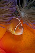 Pink Anemonefish (Amphiprion perideraion) lives in symbiotic association with Magnificent Sea Anemone (Heteractis magnifica). Australia, Great Barrier Reef, Pacific Ocean