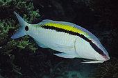 QZ74399-D. Dash-dot Goatfish (Parupeneus barberinus). Australia, Great Barrier Reef, Pacific Ocean. Photo Copyright © Brandon Cole. All rights reserved worldwide. www.brandoncole.com