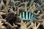 Scissortail Sergeant (Abudefduf sexfasciatus). Australia, Great Barrier Reef, Pacific Ocean