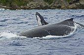 Humpback Whales (Megaptera novaeangliae), playful newborn calf spyhops next to mother
