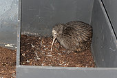 Brown Kiwi (Apteryx australis), young in a box