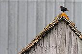 Blackbird (Turdus merula). male marking territory