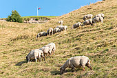 Sheep grazing at the citadel of Bitche, summer, Moselle, France