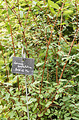 Honeysuckle (Lonicera kamtshatica) in a garden, summer, Moselle, France