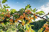 Ornamental apple tree (Malus 'Golden Hornet'), autumn, Pas de Calais, France