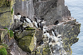 Common Guillemot (Uria aalge) with Razorbill (Alca torda), Latrabjarg Cliff, Westfjords, Iceland
