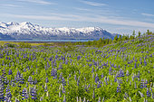 Nootka Lupine (Lupinus nootkanensis), species native to North America introduced at the beginning of the 20th century to combat erosion Husavik region, Iceland