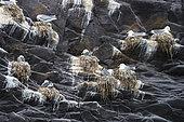 Black-legged Kittiwake (Rissa tridactyla) at nest, Snæfellsnes Peninsula, Hellnar, Iceland