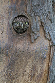 Little Owl (Athene noctua) in the natural cavity of an apple (Malus domestica) marked by bark beetles, Belgium