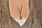 Dead acacia trees in the Namib Desert, Namibia