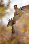 Giraffe (Giraffa camelopardalis) and baby giraffe, grooming, affection through the foliage of a tree, Namibia