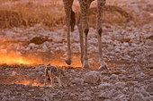 Chacal à chabraque (Canis mesemelas) dans la poussière à contrejour dans les pattes d'une Girafe (Giraffa camelopardalis) au coucher du soleil, Namibie