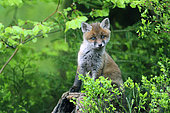 Red fox (Vulpes vulpes) young among the blueberry blossoms, Ardennes, Belgium