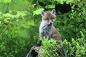 Renard roux (Vulpes vulpes) renardeau parmi les Myrtilliers en fleurs, Ardenne, Belgique