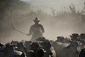 Traditional Cavaliero and his cattle in the dust, Llanos, Venezuela