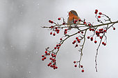 European Robin (Erithacus rubecula) swallowing a Hawthorn (Crataegus sp) berry in winter, Belgium