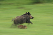 Eurasian wild boar (Sus scrofa) female and young running, Ardennes, Belgium