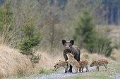 Sanglier d'Eurasie (Sus scrofa) marcassins jouant avec leur mère sur un chemin forestier, Ardenne, Belgique