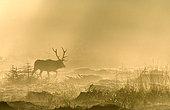 Cerf élaphe (Cervus elaphus) marchant dans la brume à contre-jour à l'aube, Ardenne, Belgique
