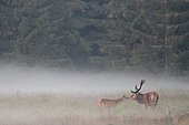 Old red deer (Cervus elaphus) smelling a fawn in the mist, Fagne, Wallonia, Belgium