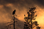 Silhouette of White-tailed Eagle (Haliaeetus albicilla) against sky colored by sunset, Finland