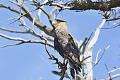 Crested Caracara (Caracara plancus) on a branch, Torres del Paine National Park, Chilean Magallanes and Antarctic Region, Chile