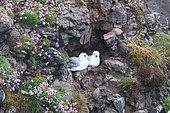 Northern Fulmar (Fulmarus glacialis) lying in cliff with Thrift seapink (Armeria maritima), Fowlsheugh cliff, Scotland