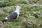 Brown Gull (Larus fuscus) adult watching its territory in the Sea Campions (Silene maritima), Scotland