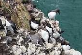 Colony of Common Guillemots (Uria aalge) with Penguin (Alca torda) on seabed, Cliffs of Fowlsheugh, Scotland