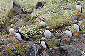 Atlantic puffin (Fratercula arctica) Small group in Sea Campion (Silene vulgaris maritima), Scotland