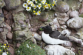 Razorbill (Alca torda) adult brooding in a cliff, Fowlsheugh Cliffs, Scotland
