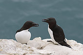 Razorbill (Alca torda) adult panting at the top of Fowlsheugh cliff, s Cliffs, Scotland